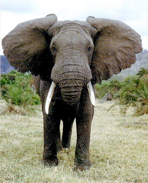 AfricanElephant111