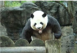 Angrypanda