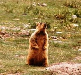 Himalayan-marmot